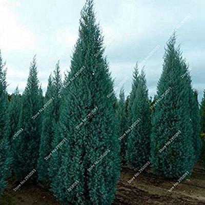 60pcs/ bag Giant Cypress Seeds Outdoor Perennial Platycladus Orientalis Arborvitae Bonsai Potted Tree Plant for Garden Decor
