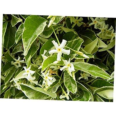 CJI 1 Plant Trachelospermum jasminoides Variegated Confederate Jasmine - RK276 : Garden & Outdoor