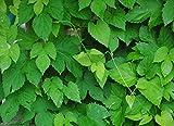 10 Hops Seeds (Humulus Lupulus) Brew Your Own Beer