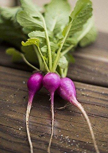 200 Purple Plum Radish Seeds- Open Pollinated-Non GMO-Organic