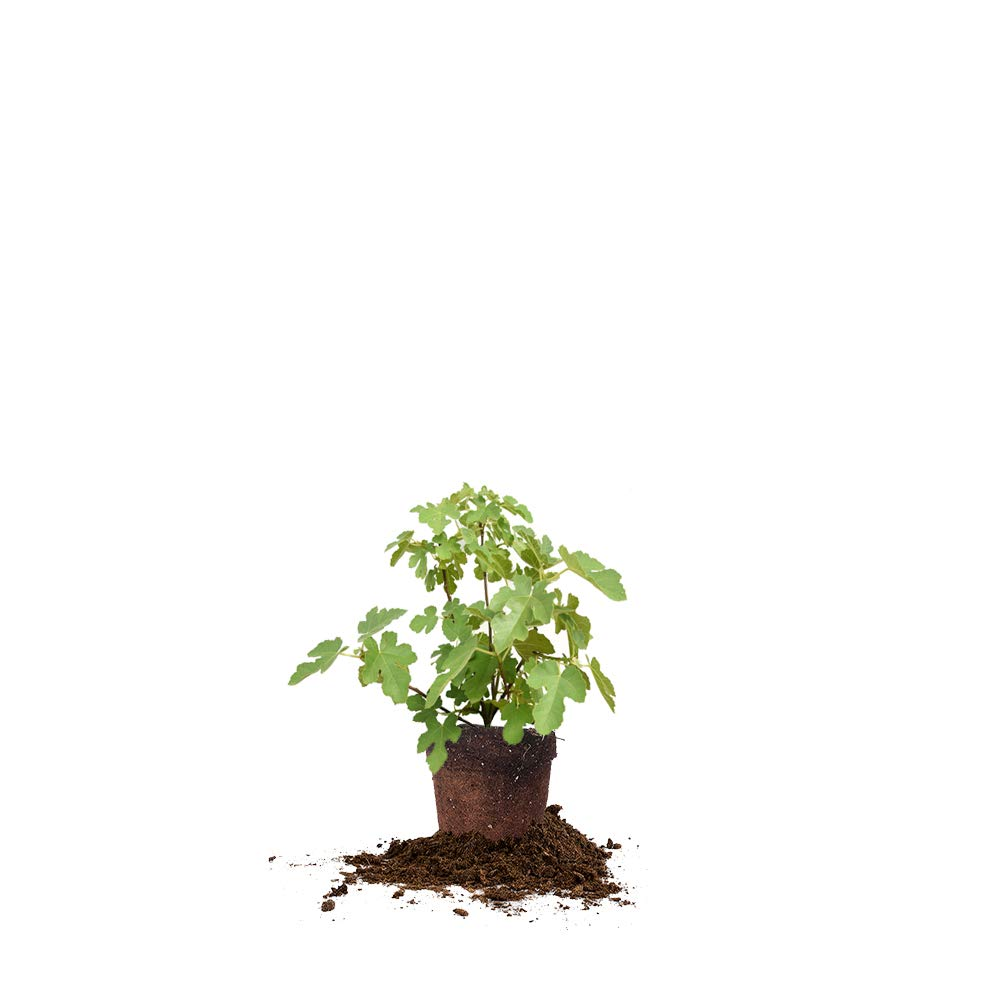 Perfect Plants Black Mission Fig Tree Live Plant, 1 Gallon, Includes Care Guide by PERFECT PLANTS (Image #1)