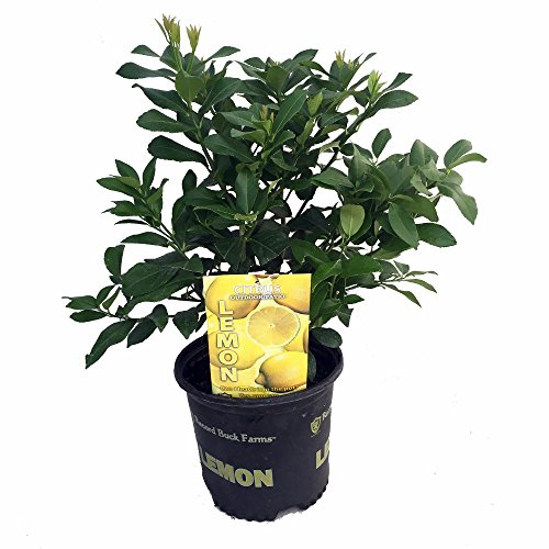 sweet-sambo-lemon-tree-fruiting-size-well-branched-8-pot-citrus