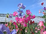 50 Sweet Pea Cut Flower Royal Mix Seeds Lathyrus Odoratus by RDR Seeds