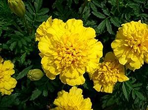 Marigolds rechazado flores limón libre Annuals semillas de Ucrania