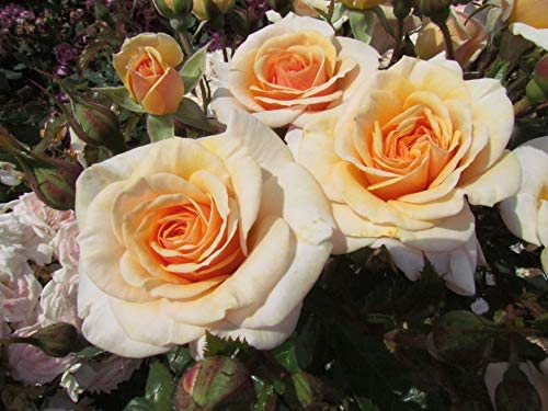 Rose of The Year 2020 Superb Performer Sweet Honey Large Repeat Displays of Pretty Apricot Blooms 5.5lt Potted Floribunda Garden Rose Bush Very Healthy