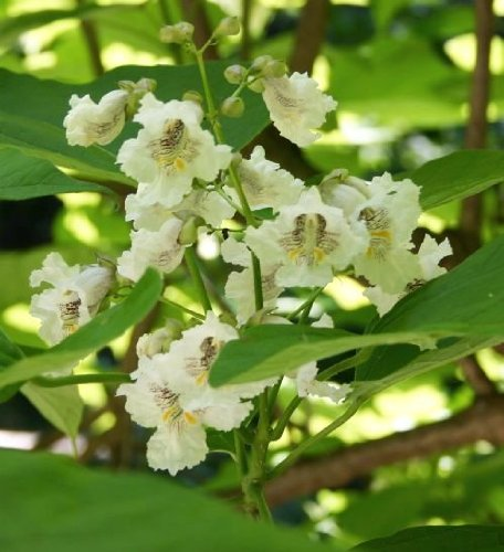 how to grow catalpa trees from seeds