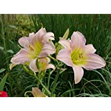 Plentree Seeds Package: Hemerocallis Catherine Woodbury - Day Lily, Plant in 1.75 Pt Pot
