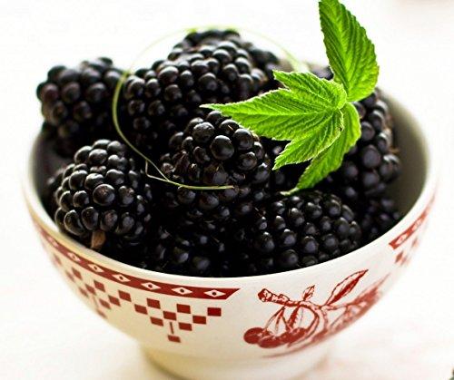 Ohio Treasure Everbearing Black Raspberry - 4