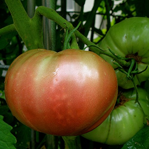 Bonnie Plants Cherokee Purple Heirloom Tomato (4 Pack) Live Plants by Bonnie Plants (Image #7)