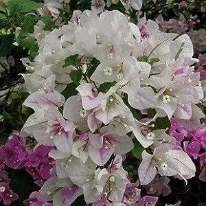 20 * Mezcla de color Bougainvillea spectabilis Willd Semillas Semillas de plantas de flor de Bonsai