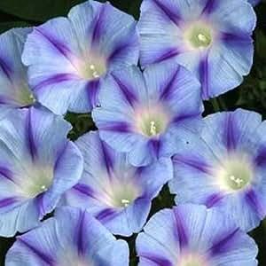 75 BLUE STAR MORNING GLORY Imopea Tricolor Flower Vine Seeds