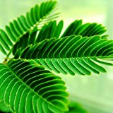 Sensitive Plant (Mimosa pudica) 1 gram approx 150 Seeds