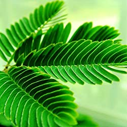 Sensitive Plant (Mimosa pudica) 100 Seeds.