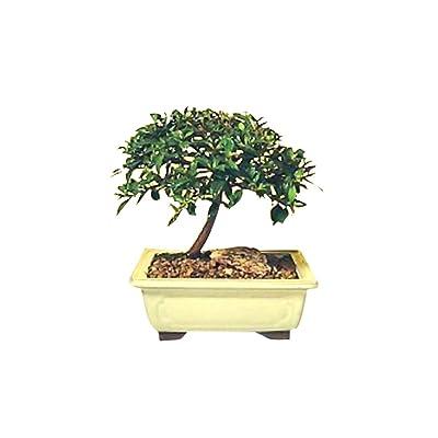 Bonsai Boy's Flowering Brush Cherry Bonsai Tree - Small eugenia myrtifolia : Bonsai Plants : Grocery & Gourmet Food