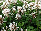 Ladino Clover Seed: Nitro-Coated, Inoculated - 10 LBS