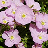 David's Garden Seeds Flower Primrose Showy SL7811 (Pink) 500 Open Pollinated Seeds