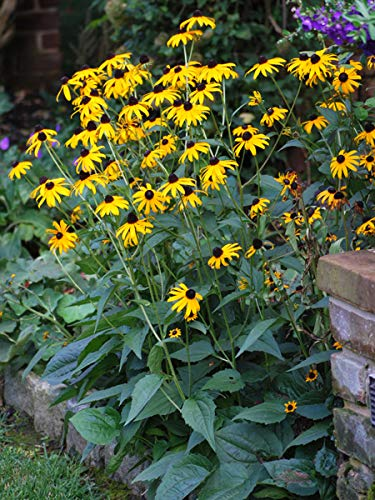 Perennial Farm Marketplace Rudbeckia f. 'Goldsturm' ((Black Eyed Susan) Perennial, 1 Quart', Golden Yellow -