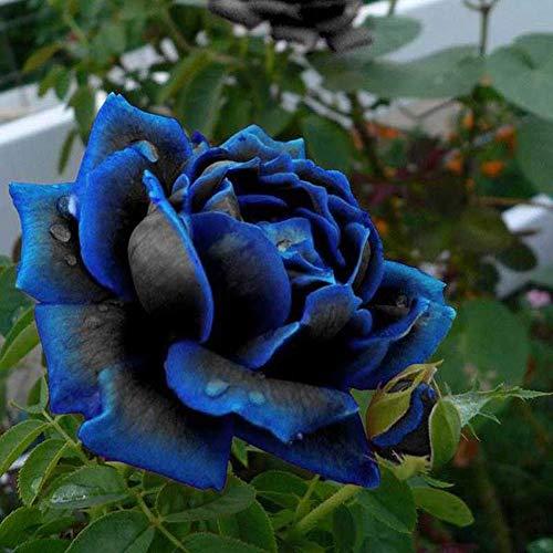 1x20pcs Rare Black Blue Rose Bush Flower Seeds Fragrant Seeds Garden Plants