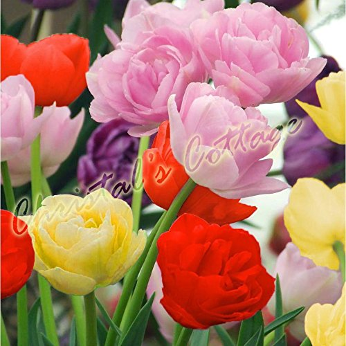 Portal Cool 8 bulbo color mixto, Tulipán doble otoño Flor de jardinería primavera Corm Perennes