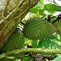 Annona Muricata - Soursop / Pawpaw - Rare Tropical Plant Tree Seeds (10)