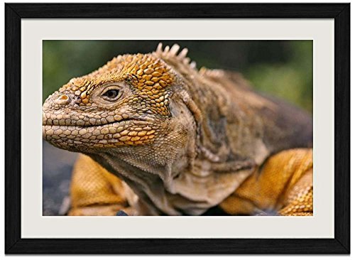 Iguana Grain - Iguana -A - Art Print Wall Black Wood Grain Framed Picture(20x14inch)