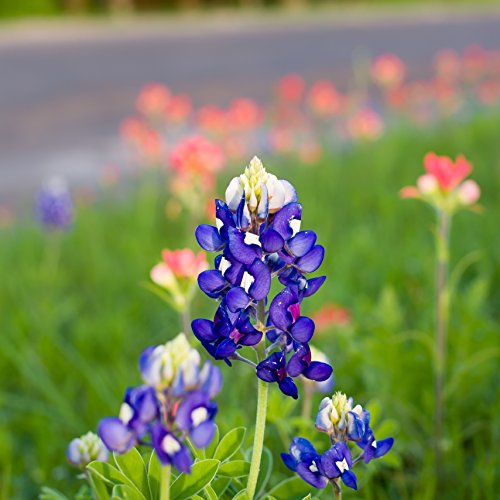Outsidepride Texas Bluebonnet Wildflowers Seed - 1 LB by Outsidepride (Image #4)