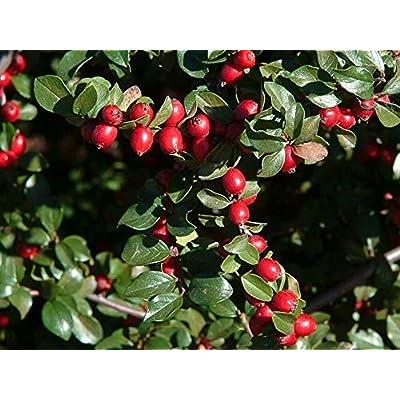 Toyensnow - Cotoneaster divaricatus Spreading COTONEASTER Shrub (10 Seeds) : Garden & Outdoor