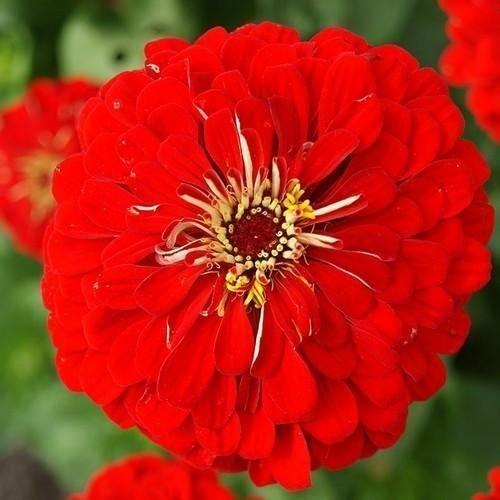 (Zinnia Lilliput Red Flower Seeds (Zinnia Elegans Lilliput Red) 100+Seeds )