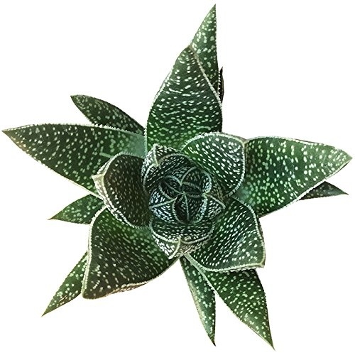 Gasteria Flow Aloe Relative Dark Green Triangular Shaped Leaves (4 inch)