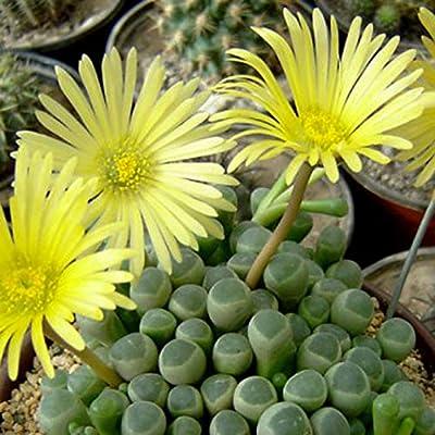 Succulent, Fenestraria aurantiaca, Baby Toes : Garden & Outdoor