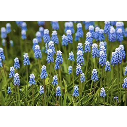 Discount 'Peppermint' Grape Hyacinth 25 Bulbs -Muscari-White/Periwinkle Blue- 8/9 cm Bulbs hot sale