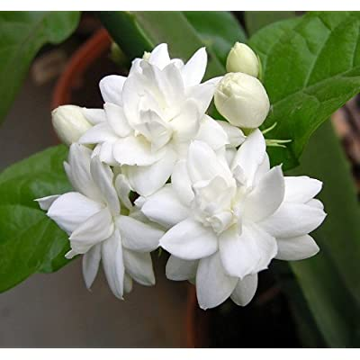 Jasmine Sambac Double Flower - 2 Feet Tall - Ship in 1 Gal Pot : Garden & Outdoor
