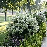 HYDRANGEA PANICULATA 'ILVOBO - BOBO'- -DWARF HYDRANGEA- STARTER PLANT - DORMANT