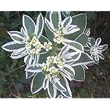 30+ Snow On The Mountain Flower Seeds / Euphorbia / Perennial