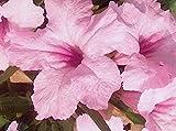 75+ Seeds | Pink Mexican Ruellia Petunia 'Chi Chi' | Hummingbirds | Perennial