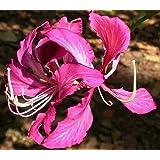 Bauhinia purpurea - árbol de la orquídea púrpura - 10 semillas