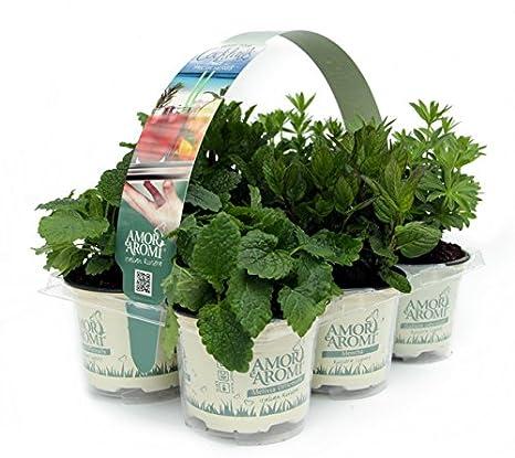 Vasi Per Piante Aromatiche.Piante Aromatiche N 24 Vasi In 4 Pack Diversi In Vaso Diam 9cm