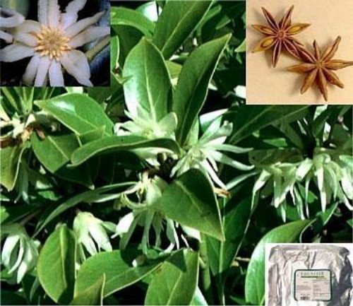 Chinese Star Anise 15 Seeds - Illicium verum - Rare (Perception Cooler)
