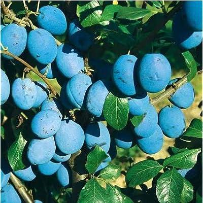 KOUYE GardenSeeds- 10 Pieces Plum Seeds Japanese Plums Organic Fruit Seeds Exotic Fruit Plants Hardy Perennial Fruit Tree Seeds, 3 Year Sweet Sugar Fruit : Garden & Outdoor