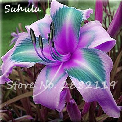 Daylily Seed 50Pcs Hybrid Daylily Seed Holland Rainbow Bonsai Flower Seed Hemerocallis Lily Delicious Healthy Vegetable Can Eat 12