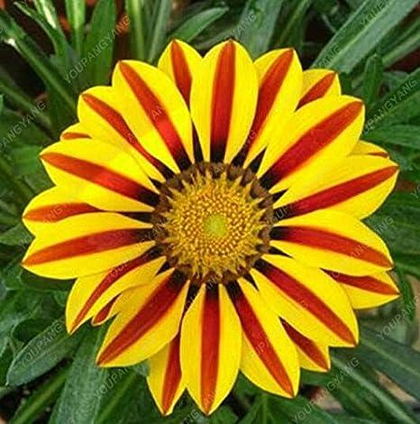 100 Pz Crisantemo Di Semi Di Fiori Bellissimi Semi In Vaso