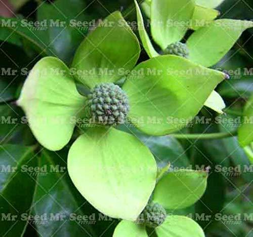 Seed 20pcs Delicious Fruit Plant Flowering Dogwood Plant Cornus Florida Plant Perennial Ornamental Flower Plants for ()
