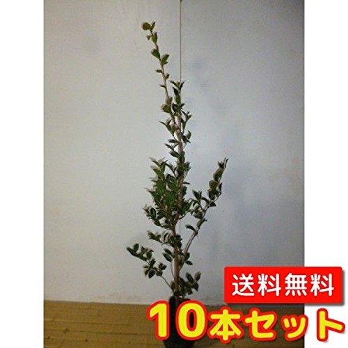 【ノーブランド品】サザンカ樹高1.0m前後15cmポット【10本セット】 B00W4VUI50