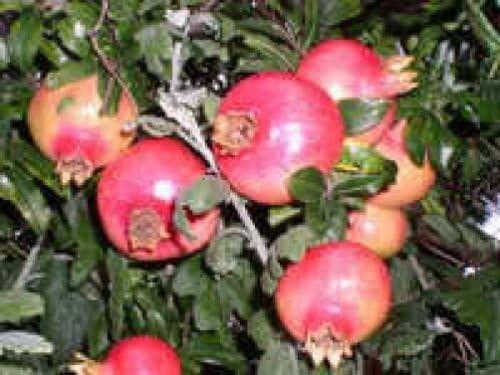 25 Fruta de la granada ÁRBOL Punica Granatum Semillas rojas ...