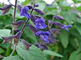 P091S. Salvia Anthony Parker Bush Sage - 30 Seeds