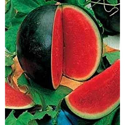 Watermelon Seed: 25+ Seeds Bush Sugar Baby Watermelon Fresh Seed : Garden & Outdoor