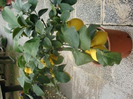 Citronnier nain 4 saisons