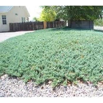 Amazon Com Blue Rug Juniper Size 1 Gallon Juniperus