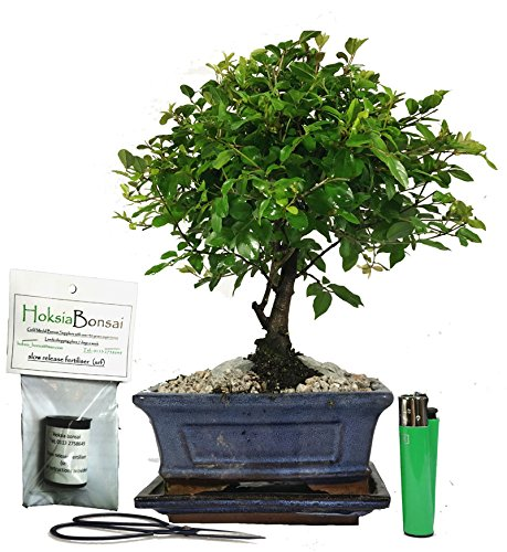 (sa15BG) Chinese bird plum flowering indoor bonsai tree gift set hoksia bonsai
