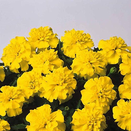French Marigold Flower Garden Seeds - Bonanza Series - Yellow - 1000 Seeds - Annual Flower Gardening Seeds - Tagetes patula